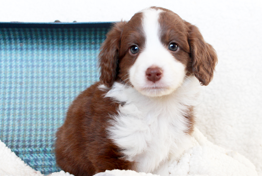 Red Tri F1 Aussiedoodle - Basil