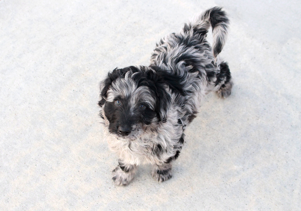 Blue Merle F1 Aussiedoodle - Clyde